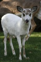 Hungry White Deer by PjRicci