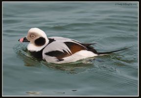 Long-tailed Duck by EWilloughby