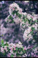 Malus prunifolia 1 by restive-wench