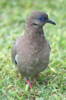 Pacific Dove by Serendith