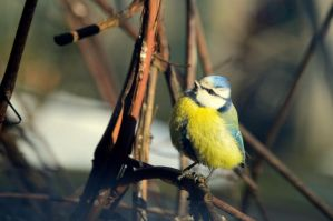 Eurasian blue tit by mistty002