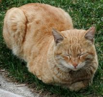 Ginger Cat by fuguestock