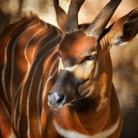 Portrait of a Bongo by DeniseSoden