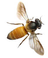BEE PNG STOCK by KarahRobinson-Art