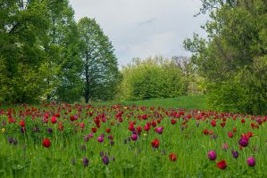 13-05 tulips meadow #1 by evionn