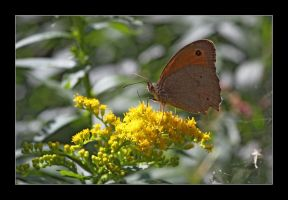meadow brown 1 by 21711