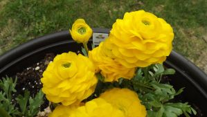Yellow Ranunculus 1 by mc1964
