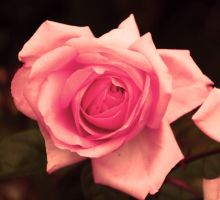 Pink rose by naturel-lumineux