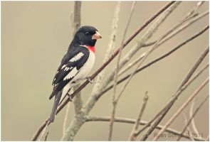 Rose-breasted Grosbeak by Ryser915