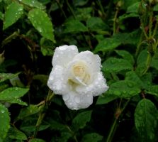 Mini White Rose... by billndrsn