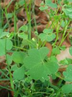 clovers by PanicPsycho