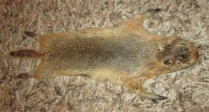 Priscilla the Richardson's ground squirrel by MaguschildCloud