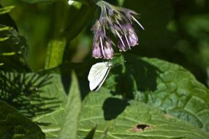 cabbage butterfly 1 by speed-demon