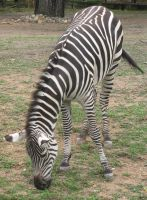 The Zoo: Zebra by en-visioned