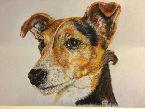 Tara the jack russell by saddlers