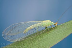 Lacewing (IMG 1012 copy) by orionmystery