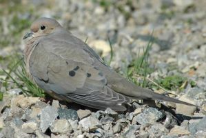 Mourning Dove by stockhorse