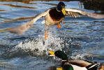Mallard Ducks Battling for The Right To Mate by Shadow848327