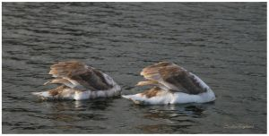 Swans 3 by Claudia008