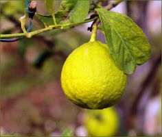 Lemon by ShlomitMessica