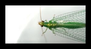 Lacewing by Hector42