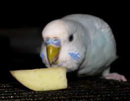 Budgie Apple Tasting by Murphy1210