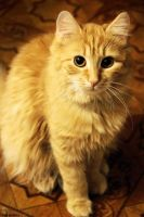 ginger cat by Zaira555