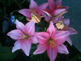 More Lilies by ObliviousMind