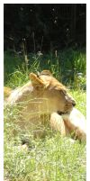 Resting Lioness by DolphyDolphiana