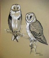 Barn Owls Sketch by HouseofChabrier