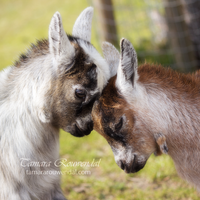 Little Goat's Love by TammyPhotography