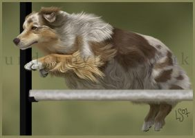 Australian Shepherd by kayanem