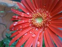 Rain Drops and Flower by maxmk04
