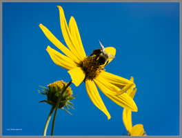 September bee on a flower by Mogrianne