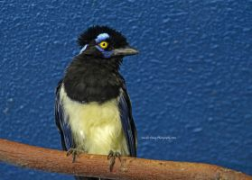 Plumb-Crested Jay by MorrighanGW