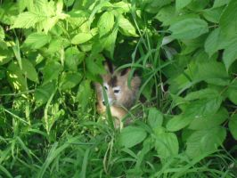 Baby Fox in Raspberry bushes by SailorUsagiChan