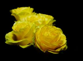 yellow roses by Xammer2000