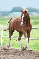 Chestnut 14 by jiphorse-stock