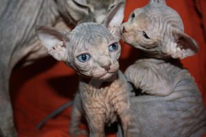sphynx kittens and the mother by delcatto