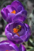 Busy Bee by Aconitum-Napellus