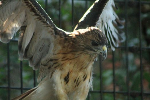 Red Tailed Hawk Stock Photo 5 by lightningspamstock