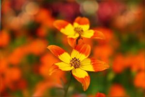 red and yellow simplicity by hv1234