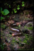 Millipede by Dominion-Photography