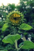 Sunflower by BAproductions