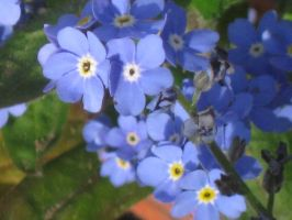 447 blue Forget Me Nots by crazygardener