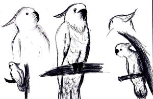 Cockatoo Sketches by Shaed-Knightwing