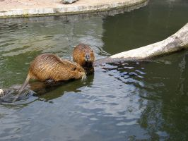 Beaver rat 4 by schaduwvacht