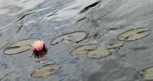 Pink Water Lily by wulfdragyn
