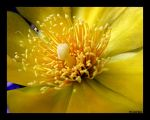 Golden Cactus Flower by gold-rose
