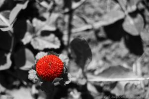 Wild Strawberry by SnapShot120